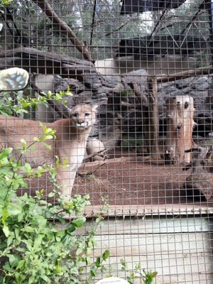 A mountain lion considers which child to eat first